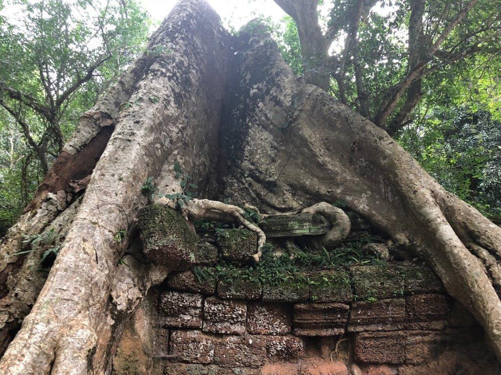 Ta Phrom Tree 2