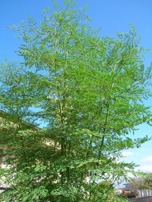 Drumstick-flowering-plant