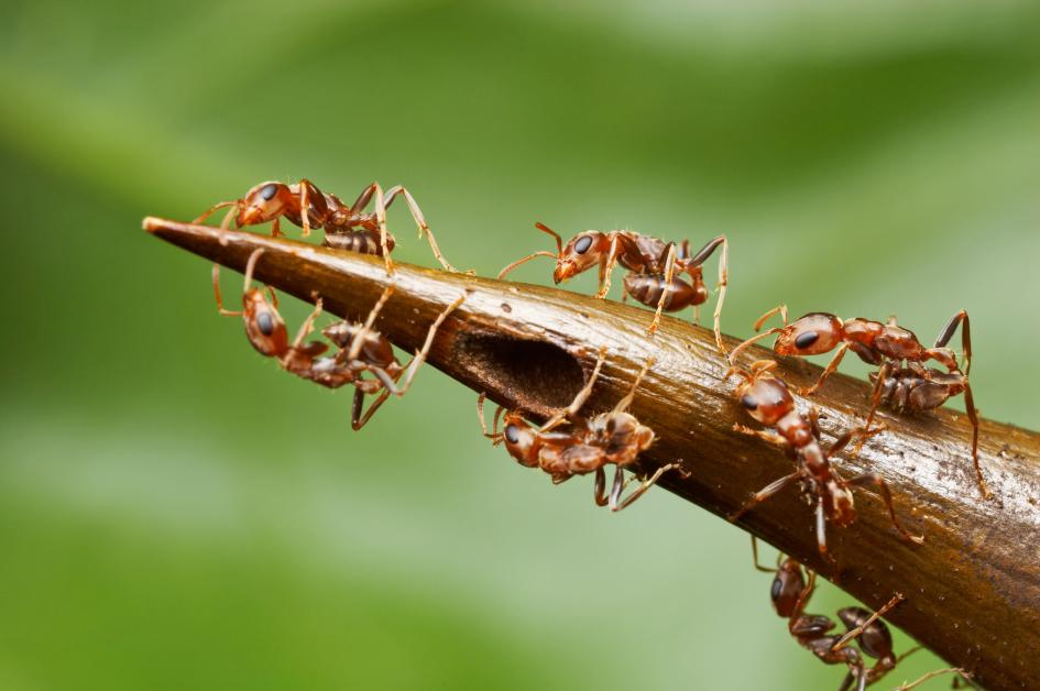 ants on thorn